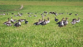 grazing flock of grey geese