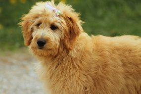 photo of goldendoodle