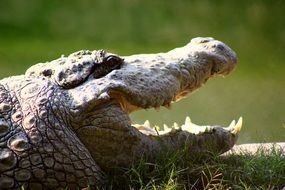 huge jaws of a crocodile