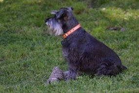 Schnauzer dog on the meadow
