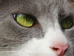 face of a cat with green eyes