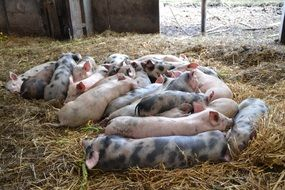cute lovely Pig Farm