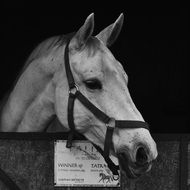 white horse in a stable in black and white background