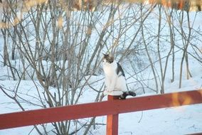 cat on a red fence in winter