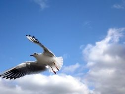 seagull flies on a background of white clouds in the sky