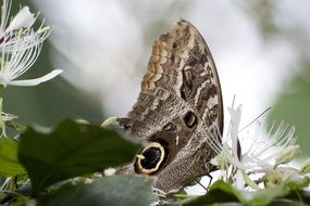 exotic owl butterfly on the flower