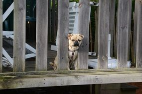 puppy behind a wooden fence