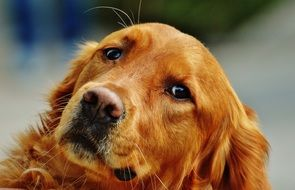 portrait of a charming golden retriever