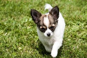 puppy of a chihuahua on green grass