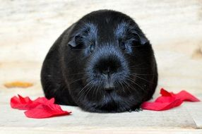 guinea pig with black smooth hair