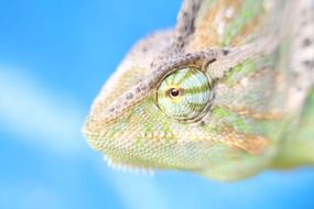 Macro photo of the colorful chameleon clipart