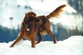 setter on the snow field