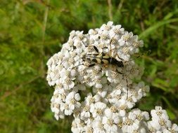 beetle on yarrow