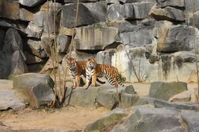 couple of tigers in the berliner zoo