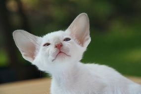 white kitten with big ears