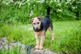 Lakeland Terrier on the green grass