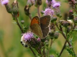 brown butterfly on the thistle
