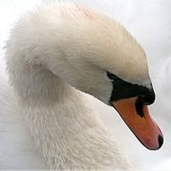 portrait of a white swan