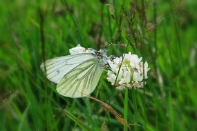cabbage butterfly on a white clover