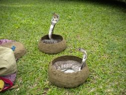 two cobras in baskets
