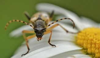 beetle on a white daisy close-up