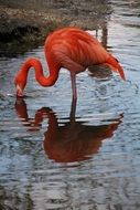pink flamingo is reflected in a pond