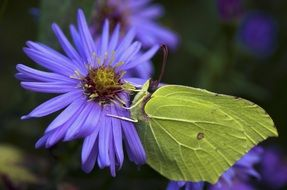 green gonepteryx rhamni butterfly on the purple flower