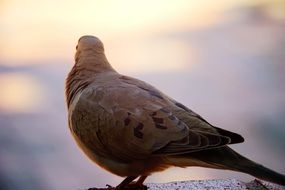 cute lovely Gray Dove