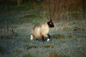 Siamese Cat walking on grass