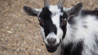 black white farm goat