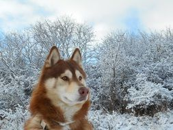cute lovely Siberian Husky Dog