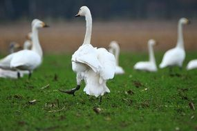 flock of whooper swans