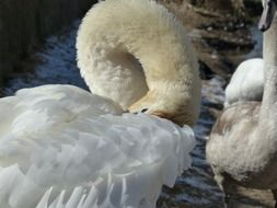 white swan cleaning feathers