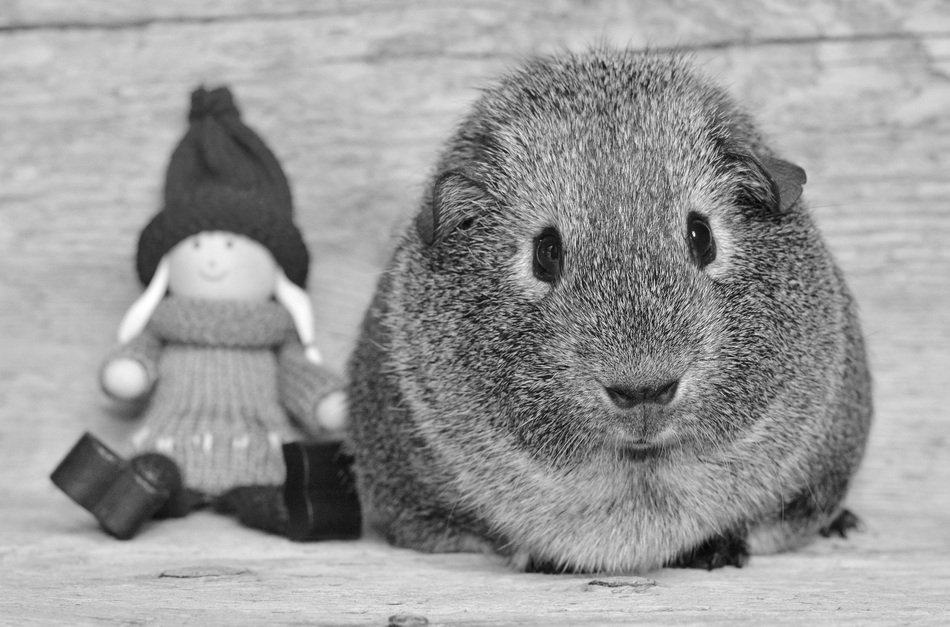 fluffy guinea pig next to the doll