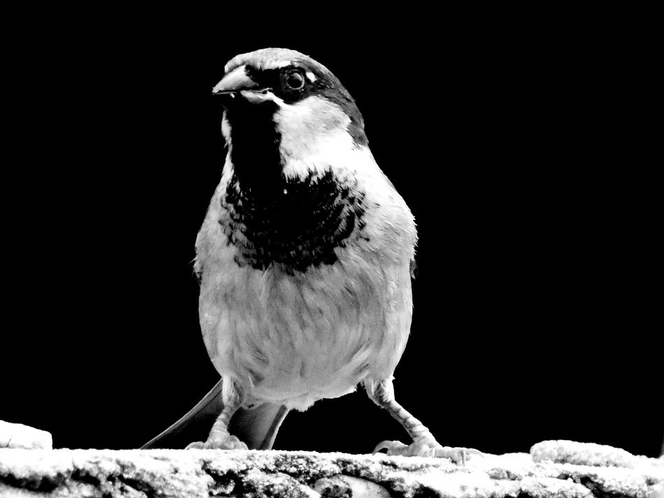 Sparrow looking straight, black and white