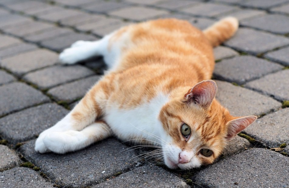 cute lovely Domestic red Cat