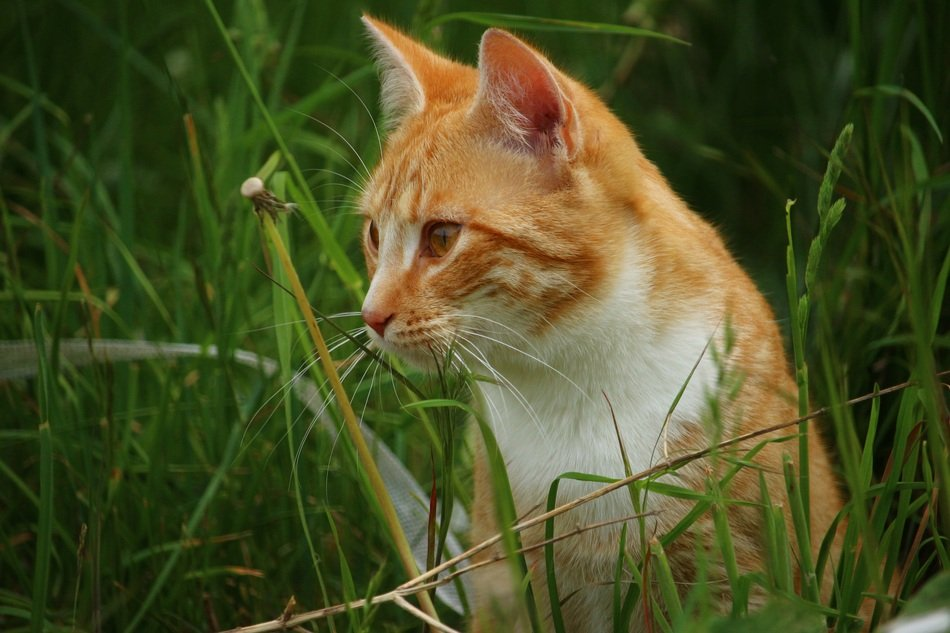 red cat sitting in the green grass