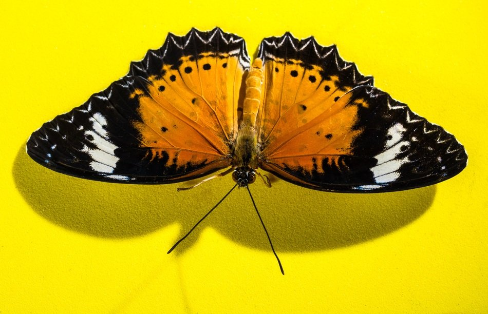 butterfly with spread wings on the yellow surface