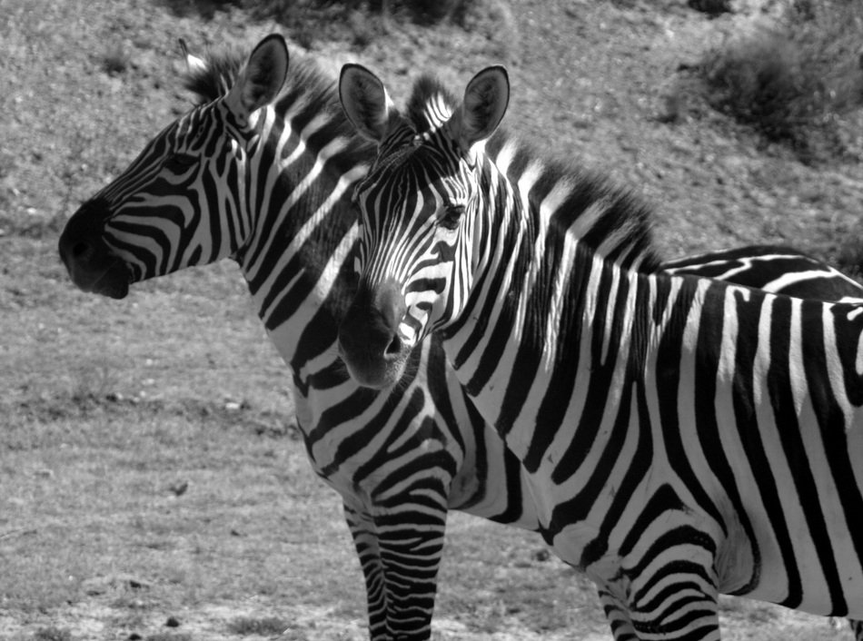 Black and white photo of the zebras