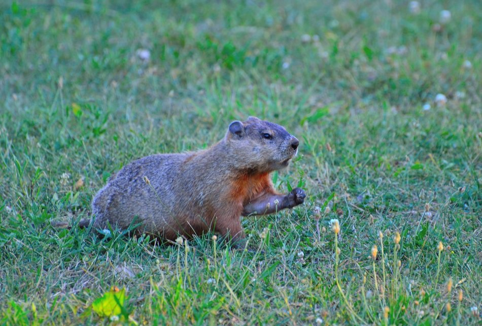 groundhog on a green lawn