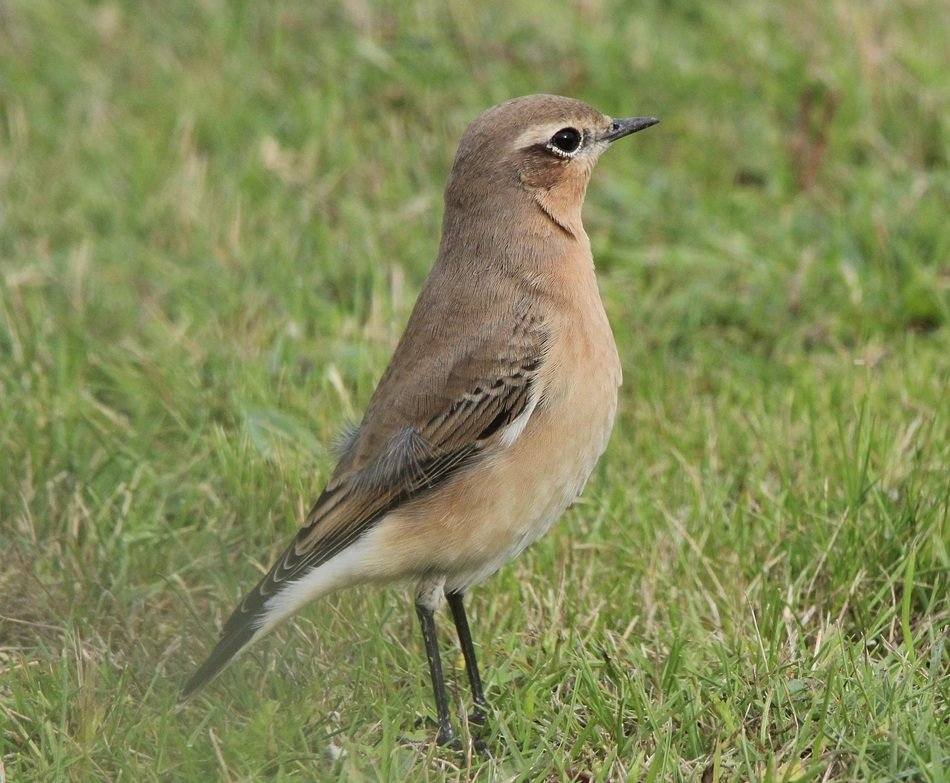 Wheatear bird in nature