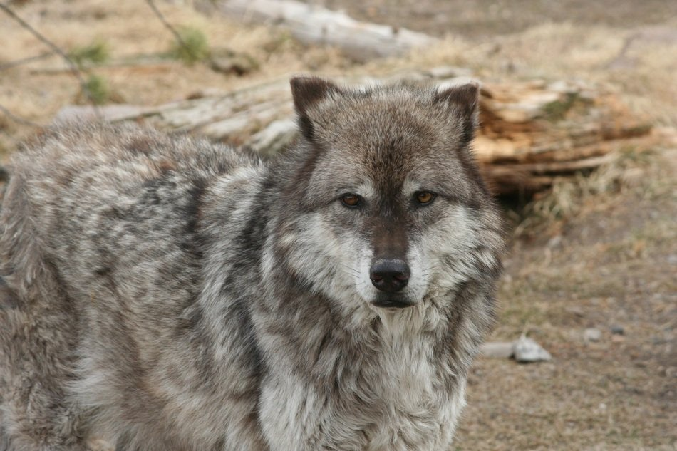 picture of the Wolf Ais in the national park
