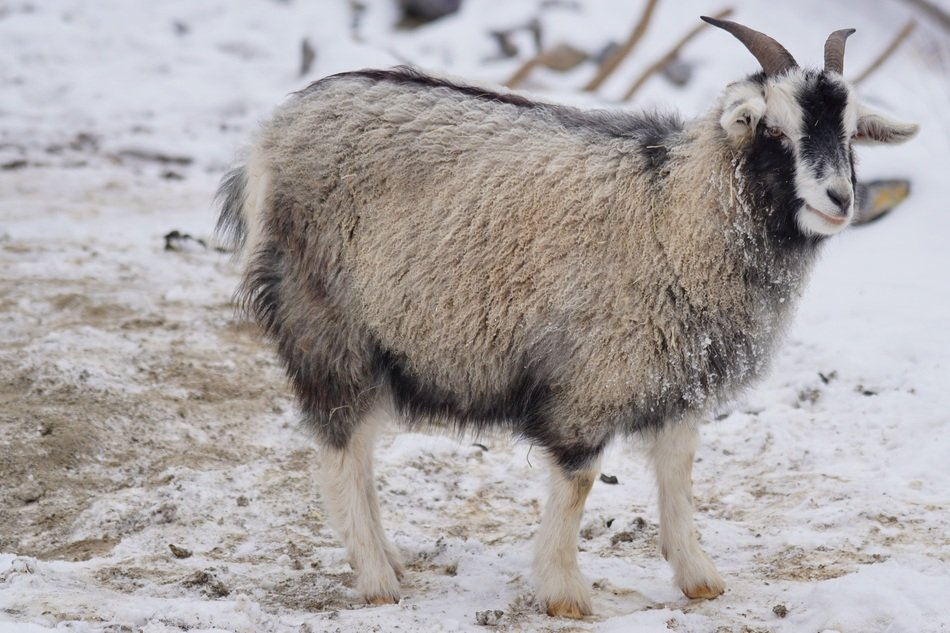 cashmere goat on white snow