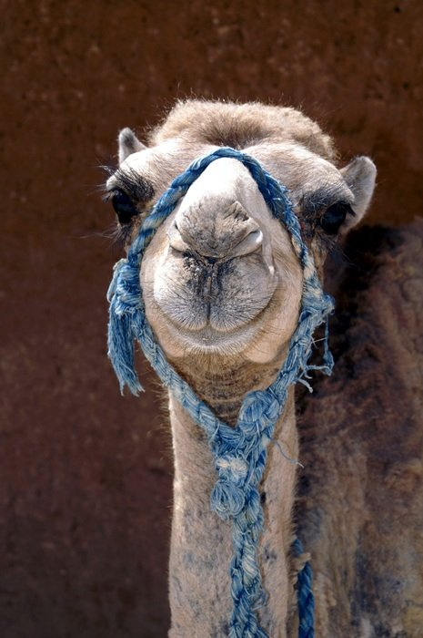 Camel head with blue bridle