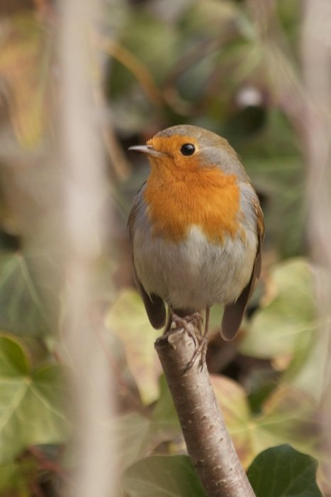 robin on a branch close up