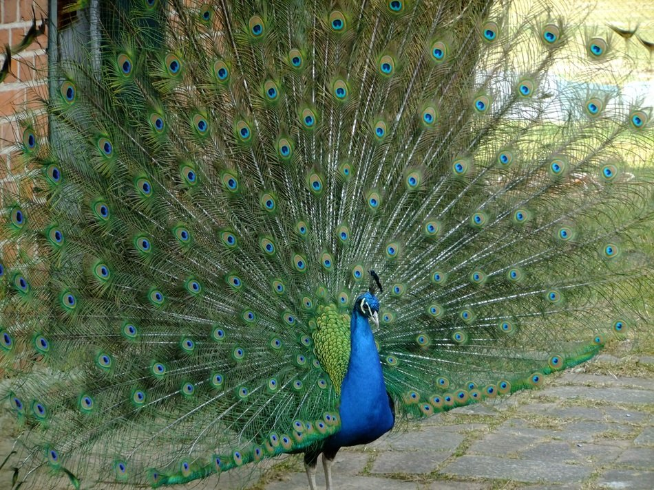 bright peacock in the park