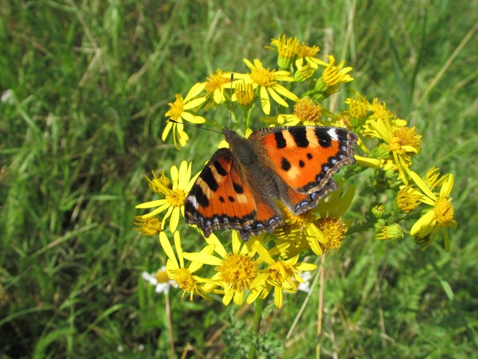 orange butterfly on a yellow inflorescence on a green meadow