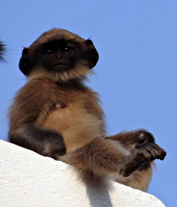 child of langur in india