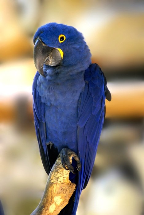 blue parrot on a branch
