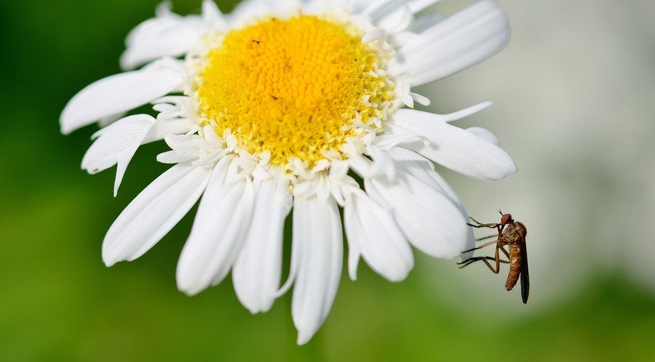 wasp on the daisy flower